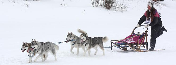 sledding-dogs